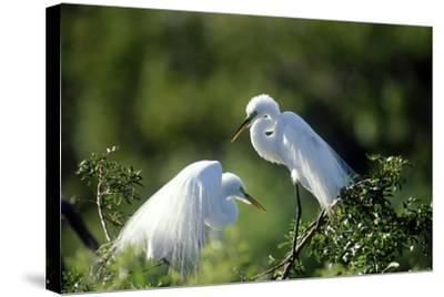 Florida, Venice, Audubon Sanctuary, Common Egret in Breeding Plumage-Bernard Friel-Stretched Canvas Print