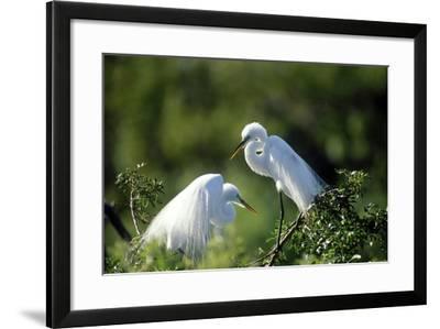Florida, Venice, Audubon Sanctuary, Common Egret in Breeding Plumage-Bernard Friel-Framed Photographic Print