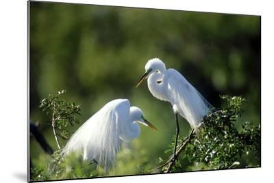 Florida, Venice, Audubon Sanctuary, Common Egret in Breeding Plumage-Bernard Friel-Mounted Photographic Print