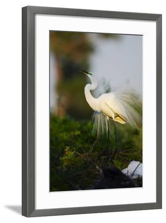 Florida, Venice, Audubon Sanctuary, Common Egret Stretch Performance-Bernard Friel-Framed Photographic Print