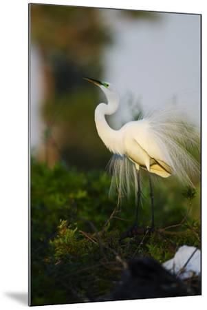 Florida, Venice, Audubon Sanctuary, Common Egret Stretch Performance-Bernard Friel-Mounted Photographic Print