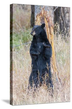 USA, Wyoming, Yellowstone National Park, Black Bear Scratching on Lodge Pole Pine-Elizabeth Boehm-Stretched Canvas Print