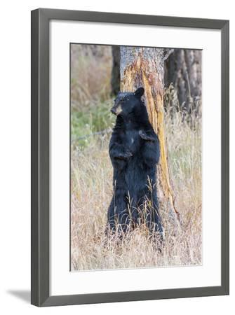 USA, Wyoming, Yellowstone National Park, Black Bear Scratching on Lodge Pole Pine-Elizabeth Boehm-Framed Photographic Print