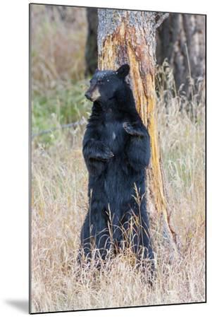USA, Wyoming, Yellowstone National Park, Black Bear Scratching on Lodge Pole Pine-Elizabeth Boehm-Mounted Photographic Print