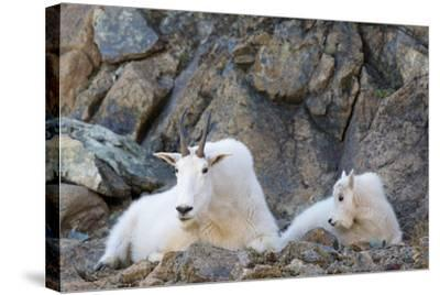 Wa, Alpine Lakes Wilderness, Ingalls Lake Area, Nanny Goat and Kid-Jamie And Judy Wild-Stretched Canvas Print