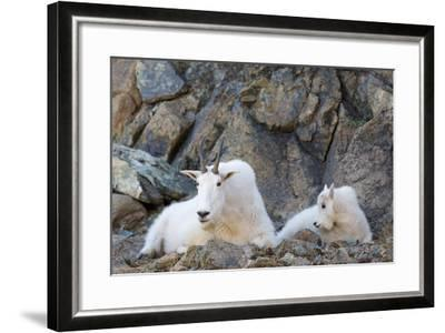 Wa, Alpine Lakes Wilderness, Ingalls Lake Area, Nanny Goat and Kid-Jamie And Judy Wild-Framed Photographic Print