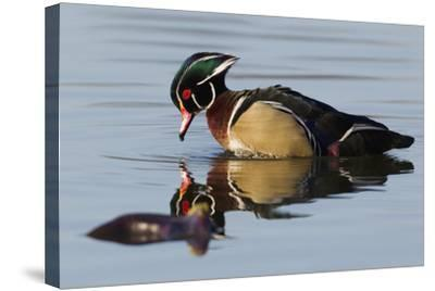 Wood Duck Drake-Ken Archer-Stretched Canvas Print