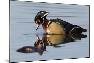 Wood Duck Drake-Ken Archer-Mounted Photographic Print