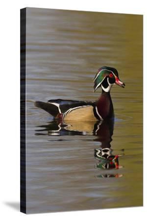 Wood Duck Drake-Ken Archer-Stretched Canvas Print