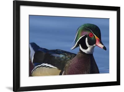 Wood Duck Drake-Ken Archer-Framed Photographic Print