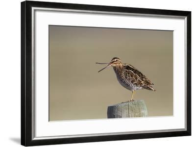 Wyoming, Wilsons Snipe Yawning and Showing Flexible Upper Mandible-Elizabeth Boehm-Framed Photographic Print