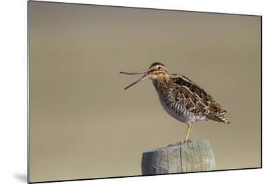 Wyoming, Wilsons Snipe Yawning and Showing Flexible Upper Mandible-Elizabeth Boehm-Mounted Photographic Print