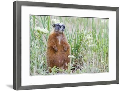Wyoming, Yellowstone National Park, Yellow Bellied Marmot Sitting on Haunches-Elizabeth Boehm-Framed Photographic Print