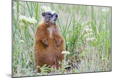 Wyoming, Yellowstone National Park, Yellow Bellied Marmot Sitting on Haunches-Elizabeth Boehm-Mounted Photographic Print