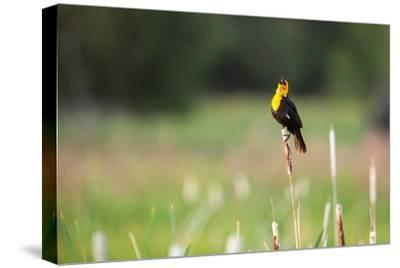 Yellow Headed Blackbird in the National Bison Range, Montana-James White-Stretched Canvas Print