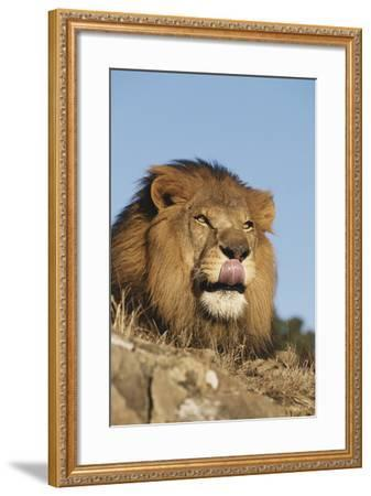 African Lion, Panthera Leo, African Savannah, Captive-Stuart Westmorland-Framed Photographic Print