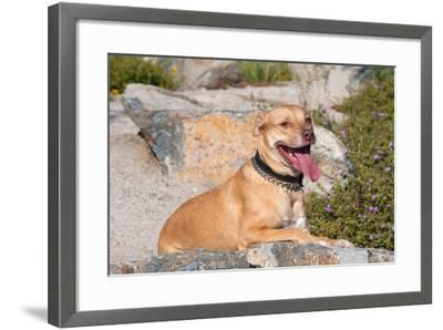 American Pit Bull Posing for a Picture-Zandria Muench Beraldo-Framed Photographic Print