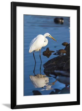 Great Egret On Prowl >> Lake Murray San Diego California A Great Egret Prowling The Shore