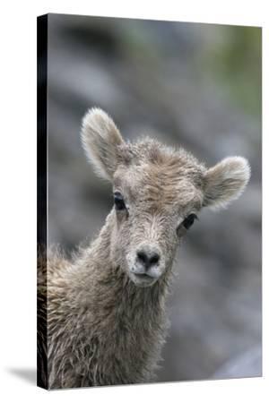 Rocky Mountain Bighorn Sheep Lamb-Ken Archer-Stretched Canvas Print