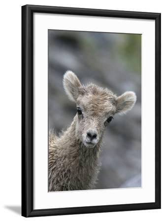 Rocky Mountain Bighorn Sheep Lamb-Ken Archer-Framed Photographic Print