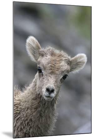 Rocky Mountain Bighorn Sheep Lamb-Ken Archer-Mounted Photographic Print