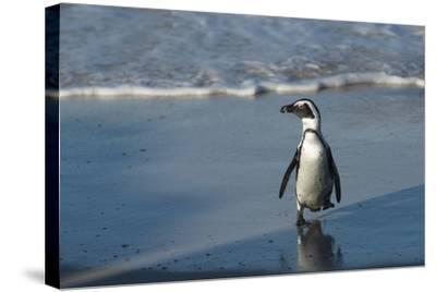 African Penguin Returning to Colony. Western Cape, South Africa-Pete Oxford-Stretched Canvas Print