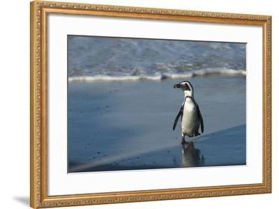 African Penguin Returning to Colony. Western Cape, South Africa-Pete Oxford-Framed Photographic Print