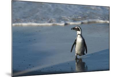 African Penguin Returning to Colony. Western Cape, South Africa-Pete Oxford-Mounted Photographic Print