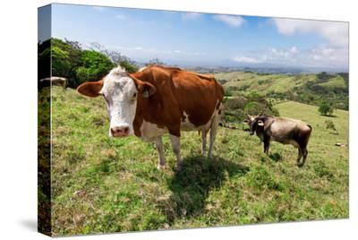 Grass Fed Cattle, Costa Rica-Susan Degginger-Stretched Canvas Print