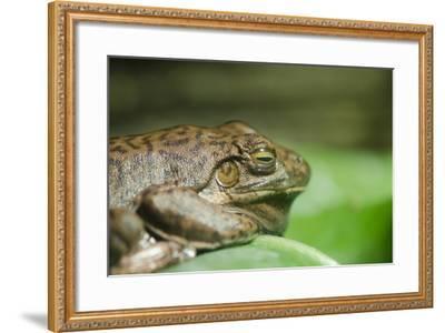 Australia, Sydney. Sydney Sea Life Aquarium. White Lipped Tree Frog-Cindy Miller Hopkins-Framed Photographic Print