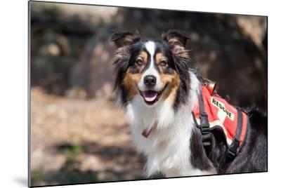 Australian Shepherd Search and Rescue Dog-Zandria Muench Beraldo-Mounted Photographic Print
