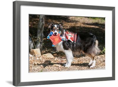 Australian Shepherd Search and Rescue Dog-Zandria Muench Beraldo-Framed Photographic Print