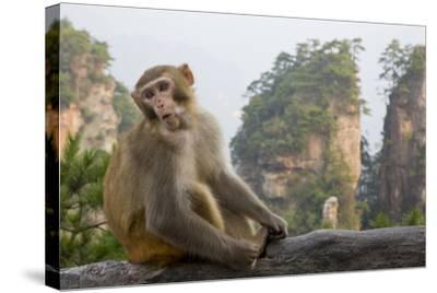 Rhesus Macaque, Hallelujah Mountains, Wulingyuan District, China-Darrell Gulin-Stretched Canvas Print