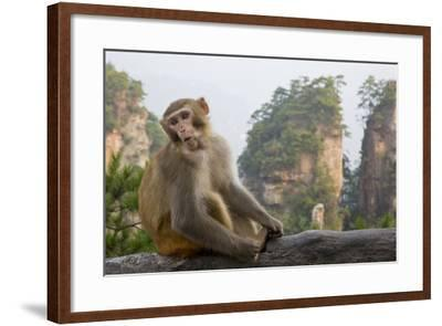 Rhesus Macaque, Hallelujah Mountains, Wulingyuan District, China-Darrell Gulin-Framed Photographic Print