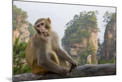 Rhesus Macaque, Hallelujah Mountains, Wulingyuan District, China-Darrell Gulin-Mounted Photographic Print