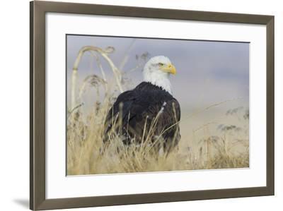 Bald Eagle on the Ground-Ken Archer-Framed Photographic Print
