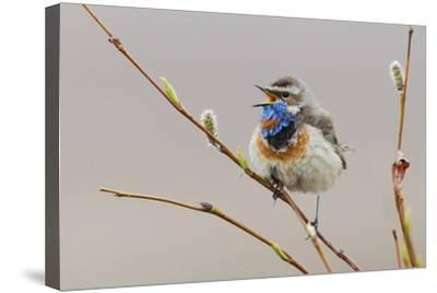 Bluethroat Singing-Ken Archer-Stretched Canvas Print