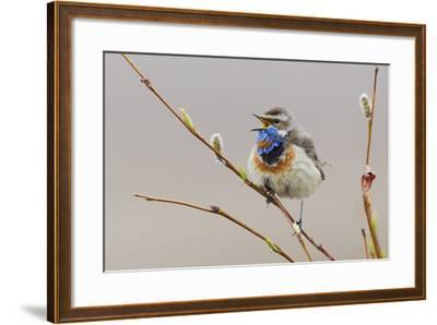 Bluethroat Singing-Ken Archer-Framed Photographic Print