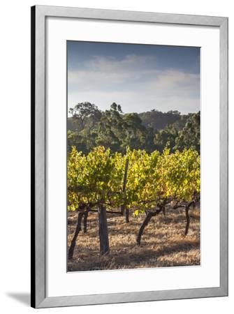 Southwest Australia, Margaret River Wine Region, Vineyard-Walter Bibikow-Framed Photographic Print