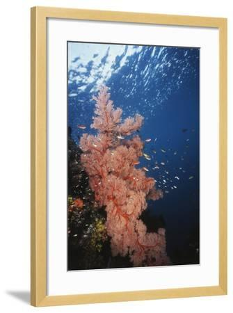 Indonesia, Komodo Islands, Gorgonian Soft Coral, Siphonogorgia-Stuart Westmorland-Framed Photographic Print