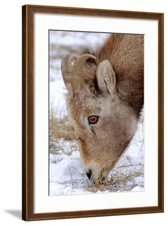 Rocky Mountain Bighorn Sheep Ram in Jasper National Park, Alberta, Canada-Richard Wright-Framed Photographic Print