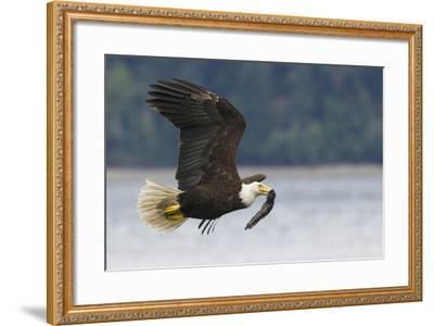 Bald Eagle-Ken Archer-Framed Photographic Print