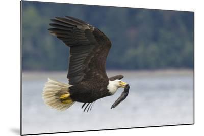 Bald Eagle-Ken Archer-Mounted Photographic Print