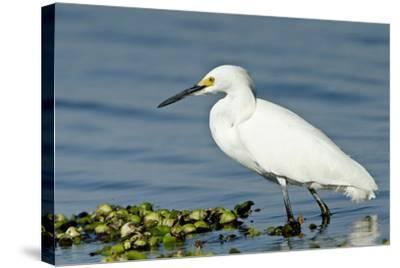 Florida, Immokalee, Snowy Egret Hunting-Bernard Friel-Stretched Canvas Print