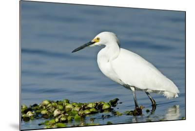 Florida, Immokalee, Snowy Egret Hunting-Bernard Friel-Mounted Photographic Print