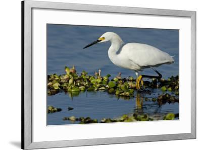Florida, Immokalee, Snowy Egret Hunting-Bernard Friel-Framed Photographic Print