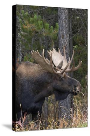 Shiras Bull Moose-Ken Archer-Stretched Canvas Print