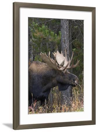 Shiras Bull Moose-Ken Archer-Framed Photographic Print
