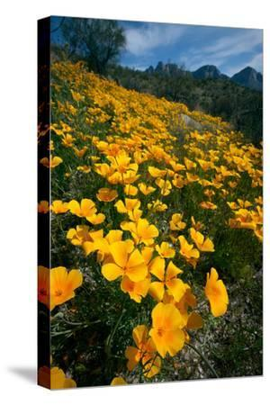 Spring, Mexican Gold Poppies Bloom in Saguaro National Park, Tucson, Arizona-Susan Degginger-Stretched Canvas Print