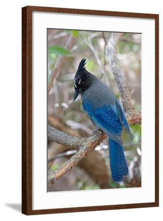 Stellers Jay, Cyanocitta Stelleri, Arizona-Susan Degginger-Framed Photographic Print